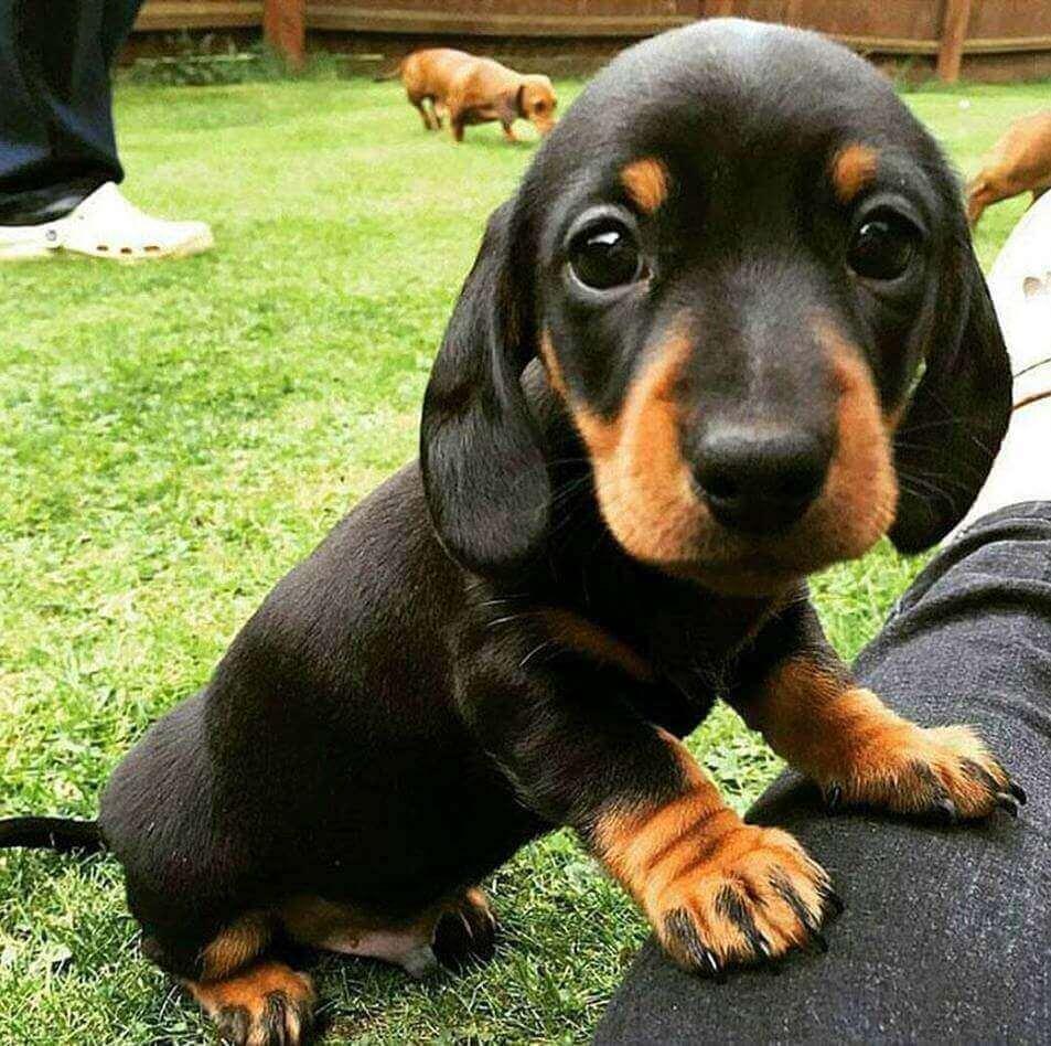 9 Fatos Interessantes da Raça Dachshund. O Cachorro Salsicha. 1