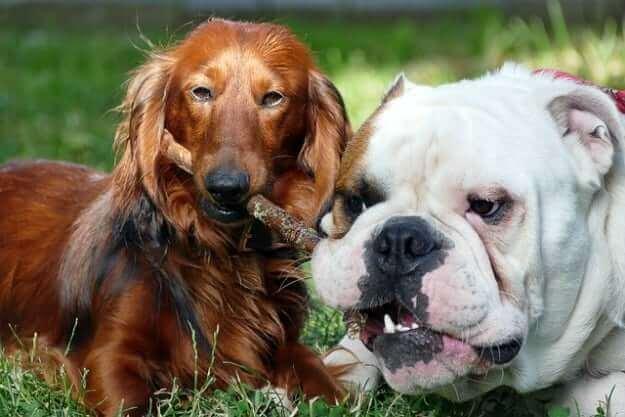 daschund com bulldog brincando com um graveto