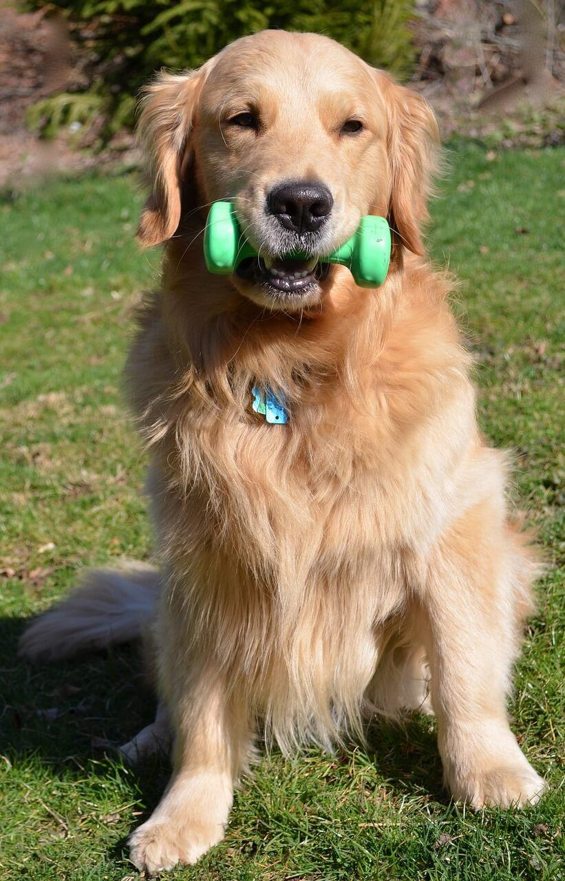 cachorro com halteres na boca