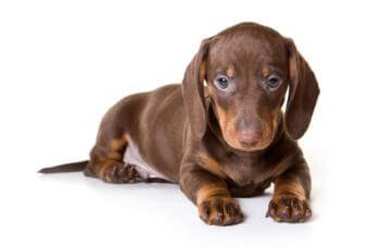 9 Fatos Interessantes da Raça Dachshund. O Cachorro Salsicha.